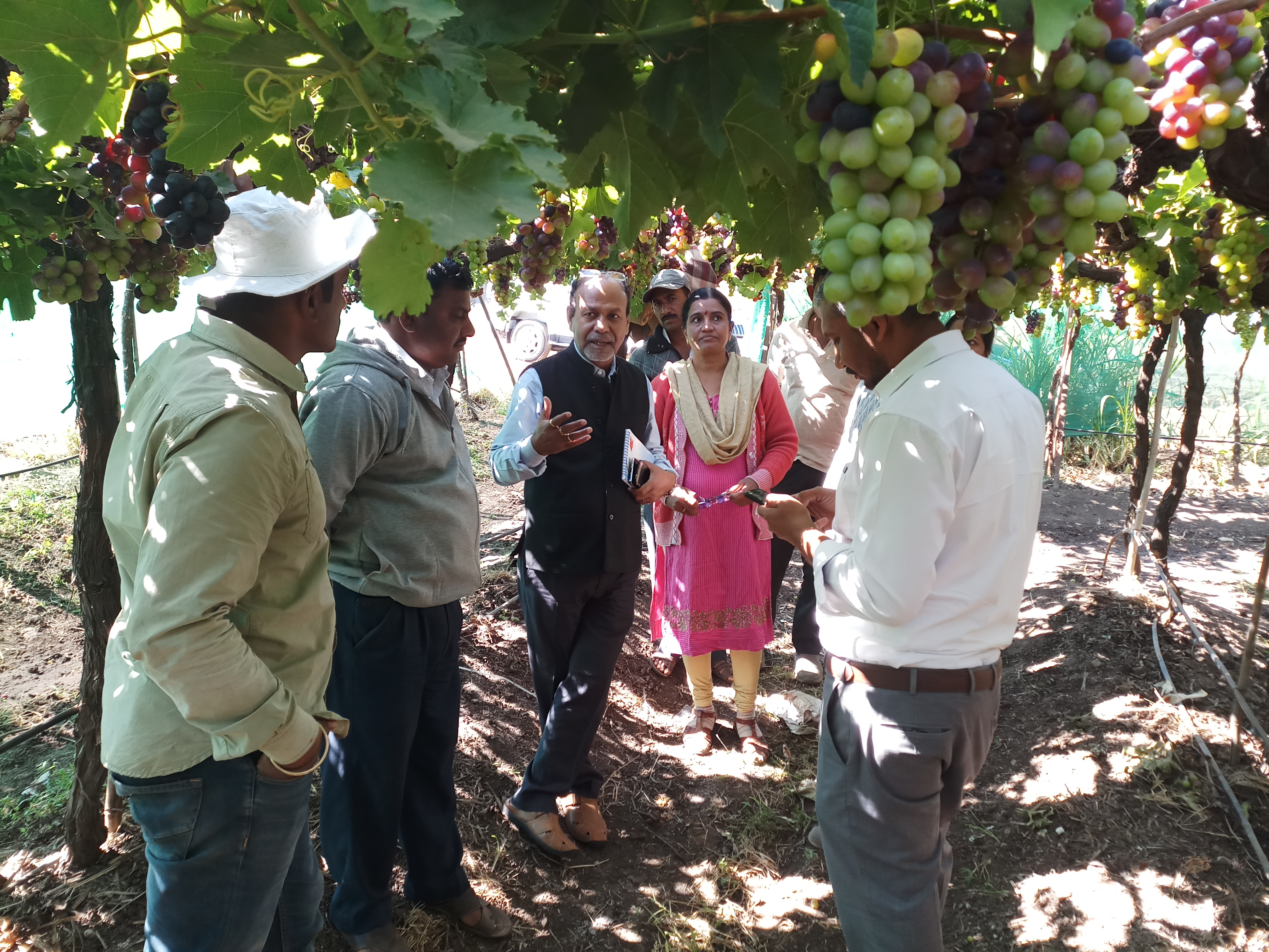 Discussion in field on residue free export grapes